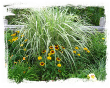 Miscanthus 'Silberpfeil' mid-summer among yellow perennials