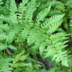 Adiantum pedatum - Northern Maidenhair
