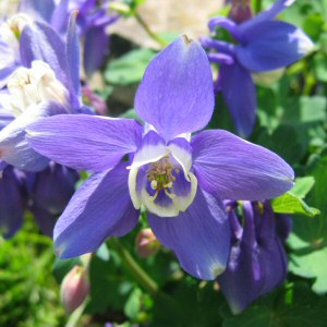 Aquilegia flabellata 'Blue Angel' - Japanese Fan Columbine