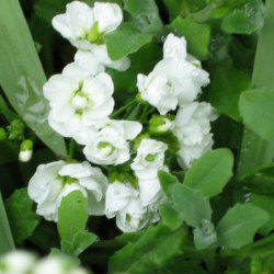Arabis caucasica - a double-flowered form