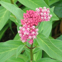 Asclepias tuberosa - a partly opened pink form