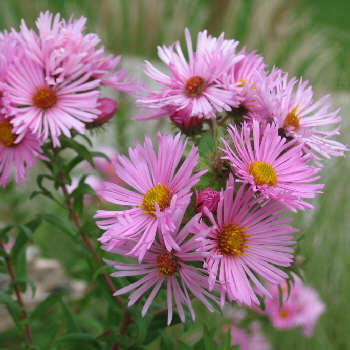 Aster - a 5-ft-tall unnamed pink form