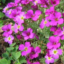 Aubrieta - False Rockcress, a pink form