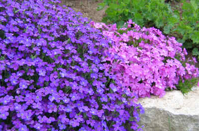 Aubrieta deltoidea 'Large Flowered Mix'