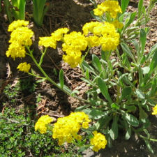 Aurinia saxatilis - Basket-of-Gold