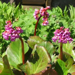 Bergenia - Pigsqueak