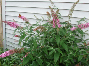 Buddleia 'Pink Profusion' - pink Butterfly Bush