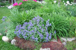 Catmint with other perennials