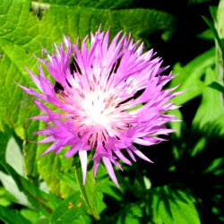 Centaurea dealbata - Knapweed