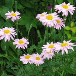 Chrysanthemum coccineum - a pink Painted Daisy