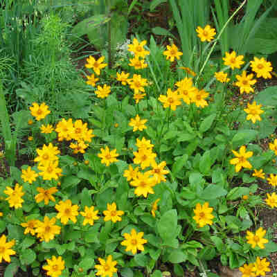 Mouse-Ear Coreopsis'