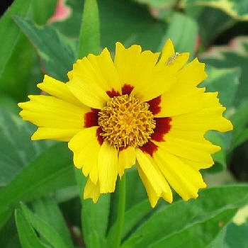 Coreopsis - Tickseed