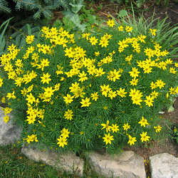 Coreopsis verticillata 'Zagreb' from a distance