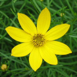 Coreopsis verticillata 'Zagreb' flower close-up