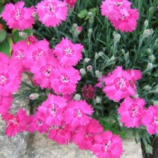 bright pink Dianthus