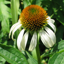 Echinacea purpurea 'White Swan' - Purple Coneflower 'White Swan'