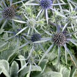 Eryngium - Sea Holly, an unknown cultivar