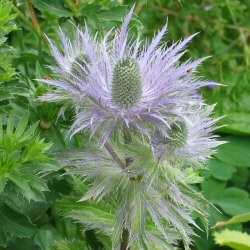 Eryngium - Miss Willmott's Ghost Sea Holly