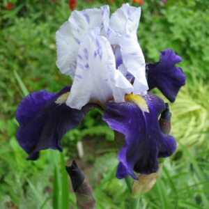 Iris x germanica 'Night Edition