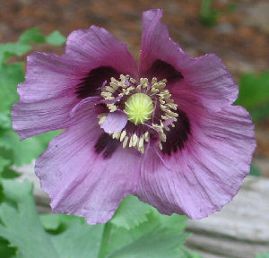 Papaver somniferum - purple single-flowered Opium Poppy