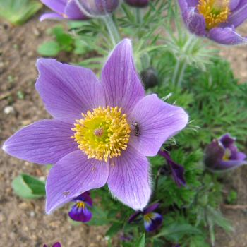 Pulsatilla vulgaris - a purple form
