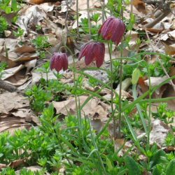 Fritillaria meleagris - Checkered Lily, Snake's Head Fritillary