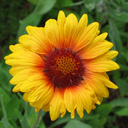 Gaillardia x grandiflora 'Monarch Strain' - Blanket Flower 'Monarch Strain'