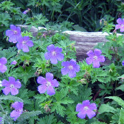 Geranium x 'Johnson's Blue' - 'Johnson's Blue' Geranium