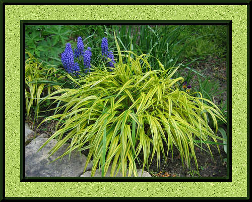 Hakonechloa macra with Grape Hyacinth