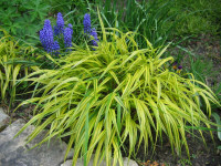 Ornamental grasses their companions 1 for Short variegated grass