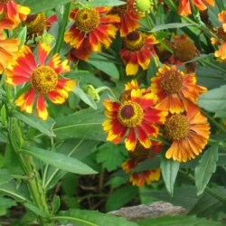 Helenium autumnale - orange Helen's Flower