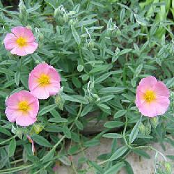 Helianthemum 'Wisley Pink' - Sun Rose