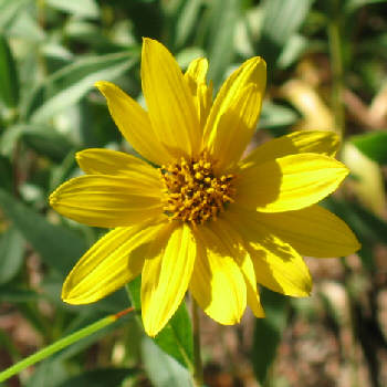 Helianthus - an unnamed form