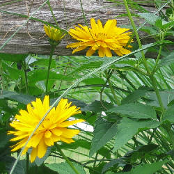 Heliopsis helianthoides spp. scabra - False Sunflower