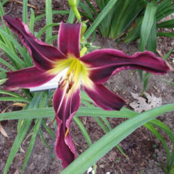 Hemerocallis 'Black Ice'