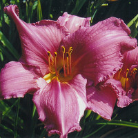 Hemerocallis 'Summer Wine'