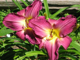 Hemerocallis 'Train to Venice'