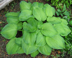 Hosta 'Guacomole'