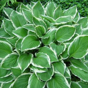 Hostas Their Companions