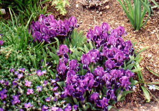 dwarf purple Bearded Iris