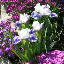 Iris - a dwarf purple & white form