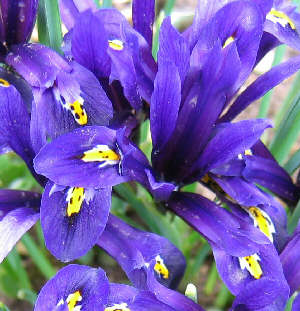 Iris reticulata - Reticulated Iris, a bulbous form