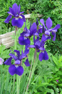 Iris sibirica - a dark purple form