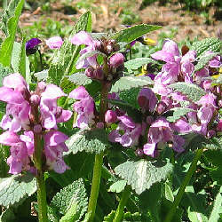 Lamium maculatum 'Shell Pink' - Spotted Dead Nettle 'Shell Pink'