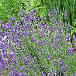 Lavandula angustifolia - English Lavender