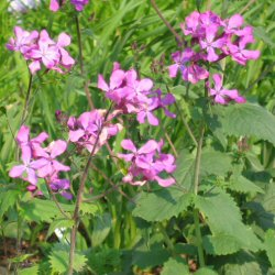 Lunaria annua - Money Plant, Silver Dollar