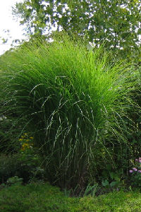 Miscanthus sinensis 'Gracillimus' - Japanese Silver Grass 'Gracillimus'