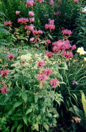 Monarda 'Blue Stocking' - 'Blue Stocking' Bee Balm
