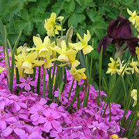 Narcissus 'Hawera'with pink Creeping Phlox and a burgundy mid-size Iris