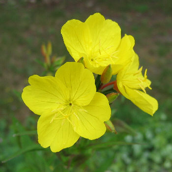 Yellow perennials their companions 2 oenothera tetragona youngii mightylinksfo